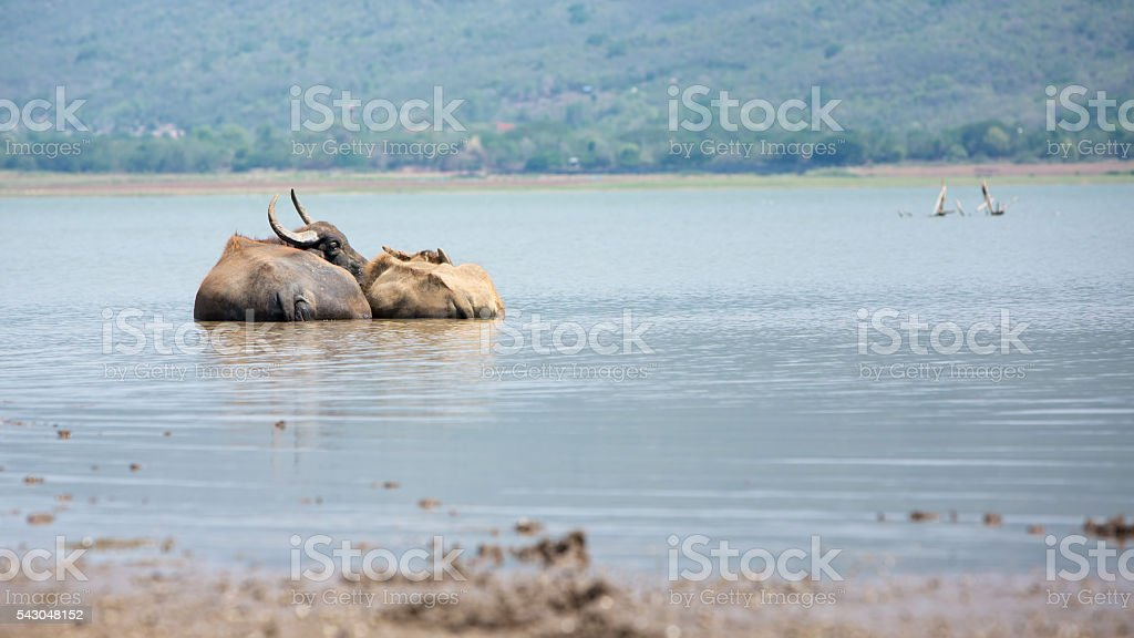 Couple of water buffalo standing closely in a water - foto stock