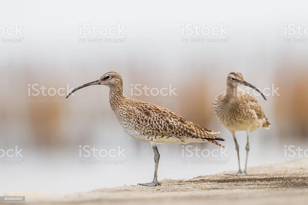 Couple of Whimbrel(Numenius phaeopus) stock photo