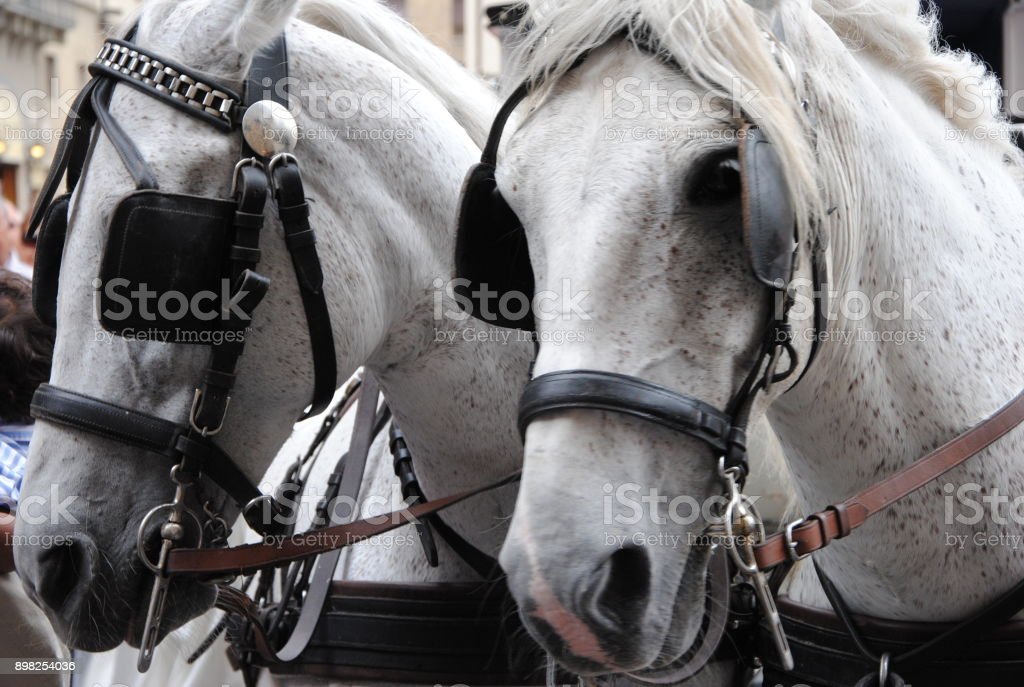 Couple of white horses driving coach with blinders. stock photo