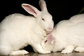 One rabbit licking another's ear.