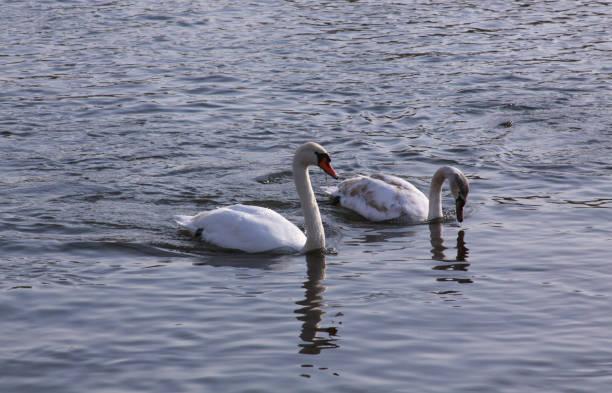 Couple of white swans float on lake surface stock photo