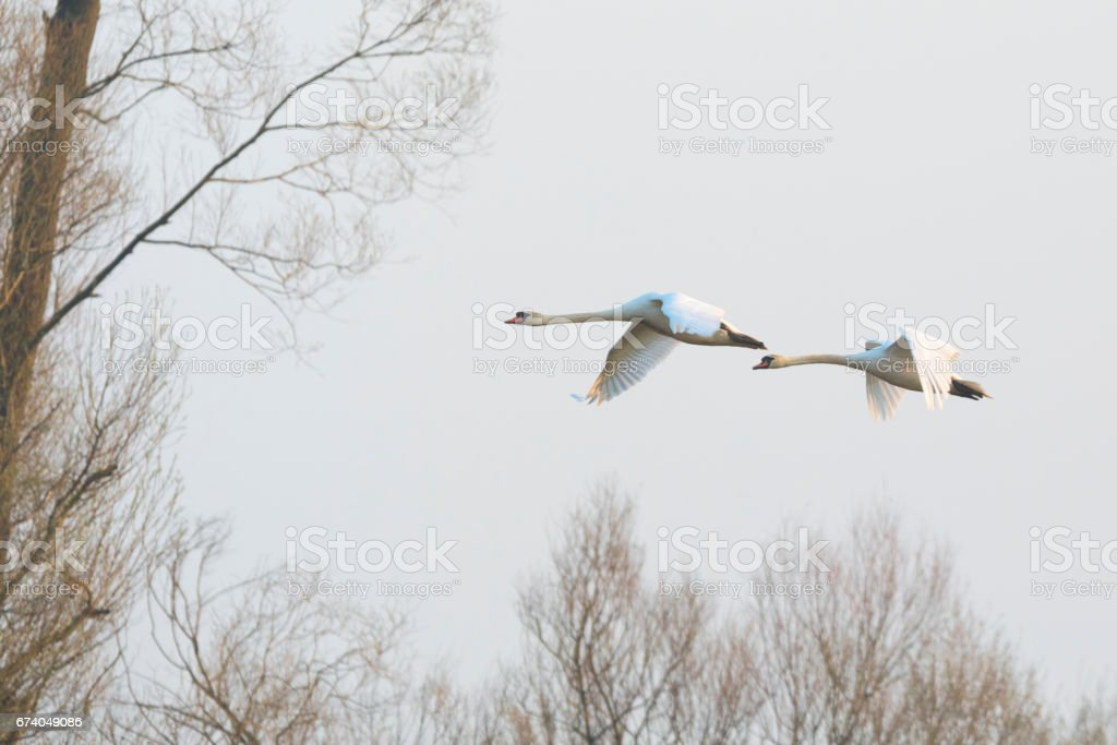 Couple of white swans in the evening sky royalty-free stock photo