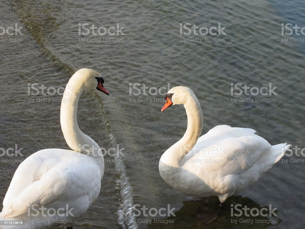 Couple of white swans on the lake stock photo