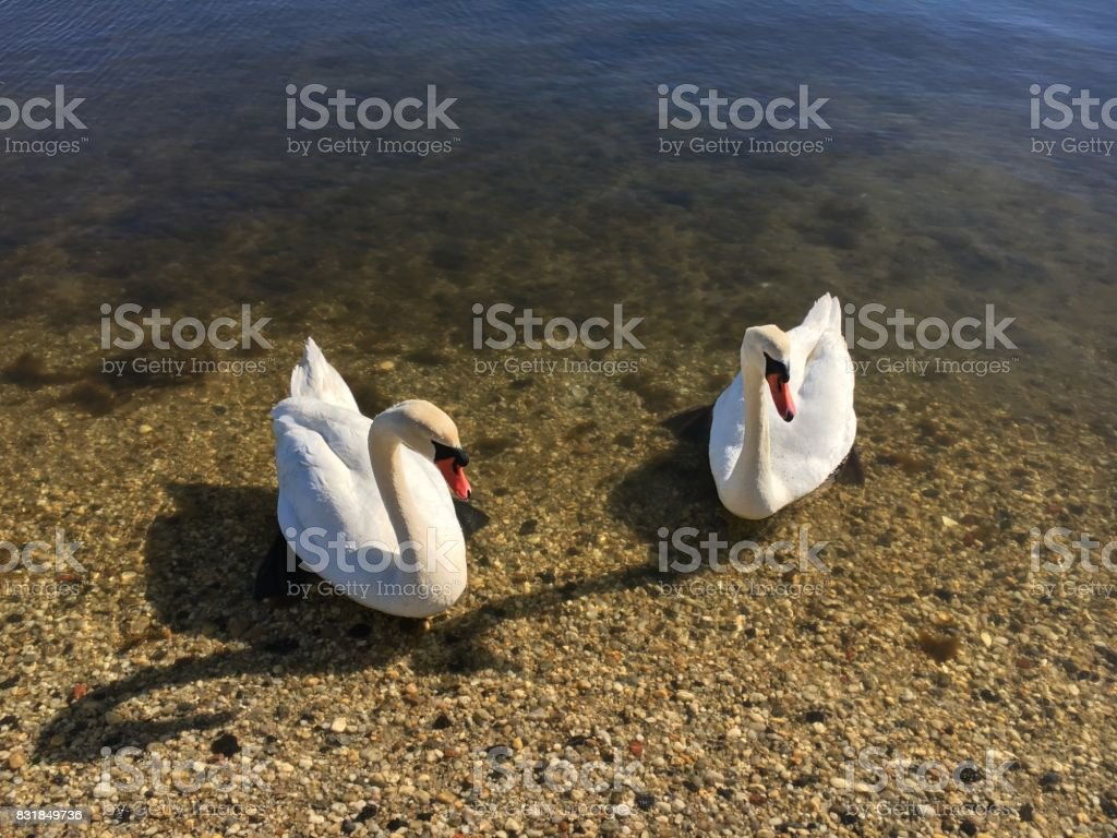 A couple of white swans stock photo
