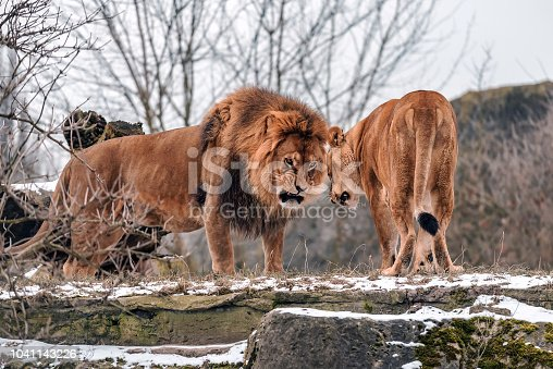 Angry couple of wild lions clarify the relationship. Animal theme