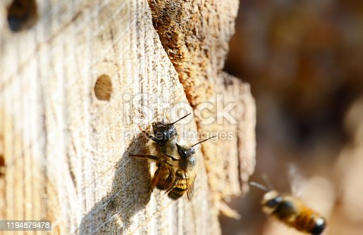 Couple of wild solitary bee Osmia bicornis mating on insect hotel. insect shelter. springtime.