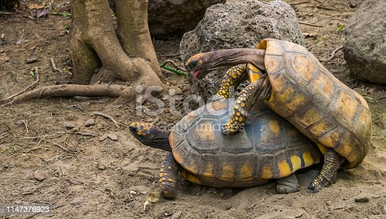 couple of yellow footed tortoises mating during breeding season, Vulnerable reptile specie from America