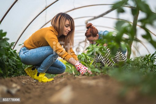 istock Couple of young farmers in greenhouse planting 833778996
