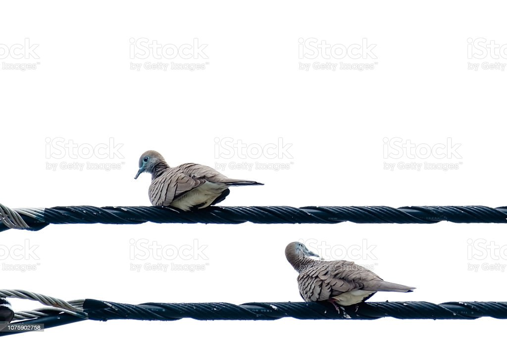 Couple of Zebra Dove , bird, perching on the wire isolated on white...