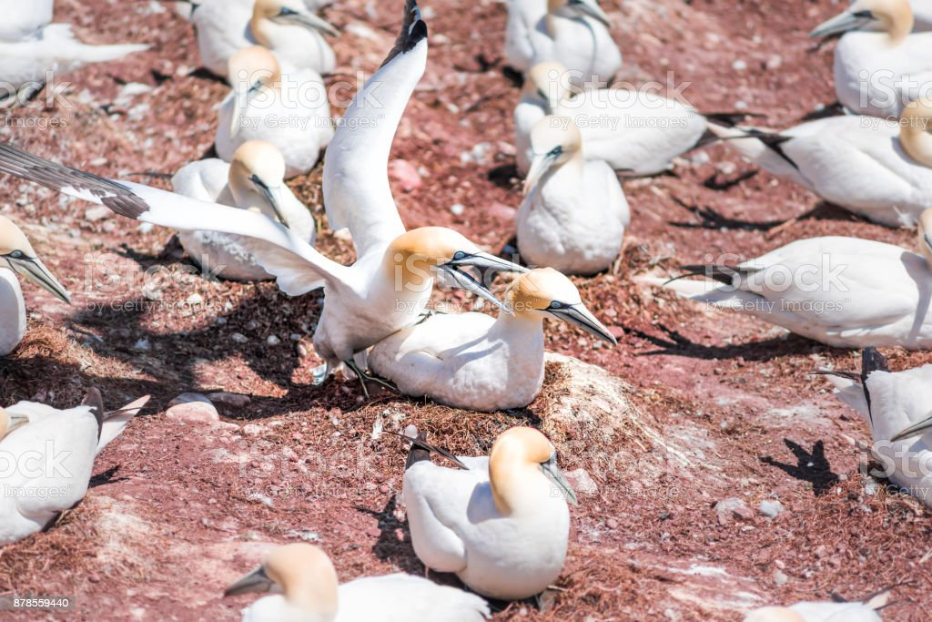 Couple pair of white Gannet bird mating reproducing sex closeup with...