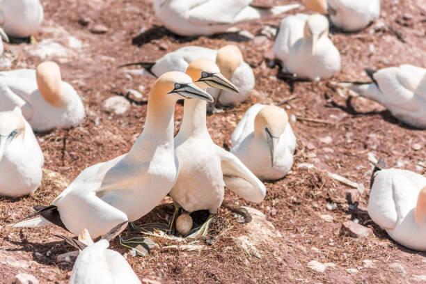 paar paar witte gannet vogel zittend op heel ei met shell op bonaventure eiland rots in perce, quebec, canada - northern gannet stockfoto's en -beelden