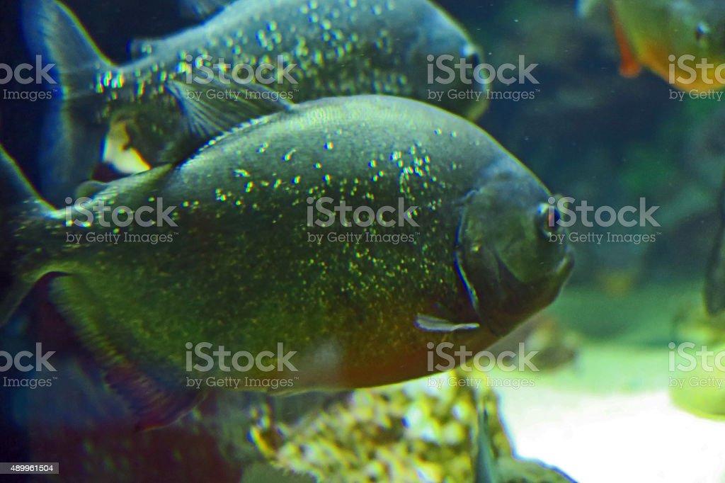 Couple piranha stock photo