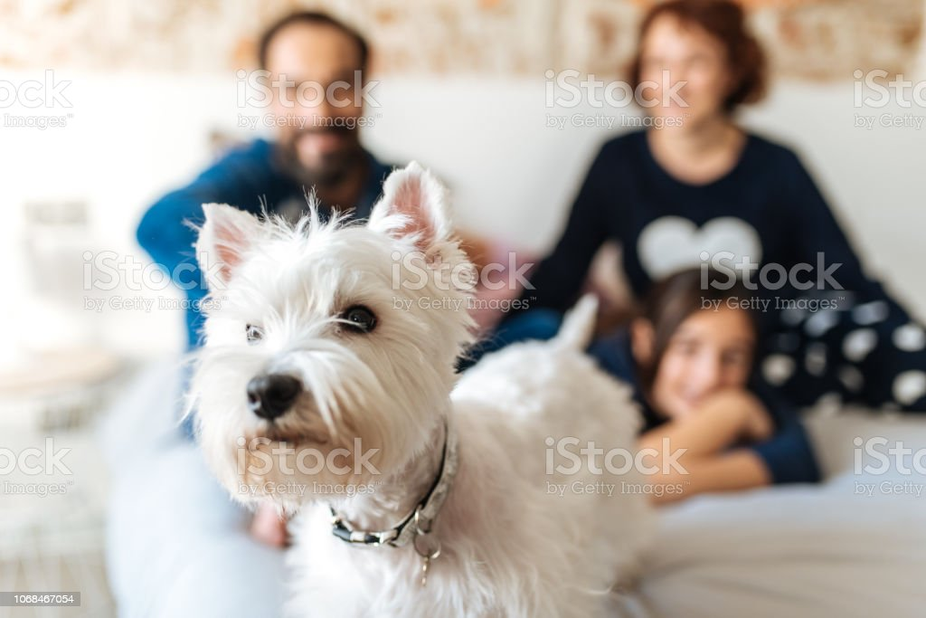 Couple relaxed at home in bed with their little daughter and the dog stock photo