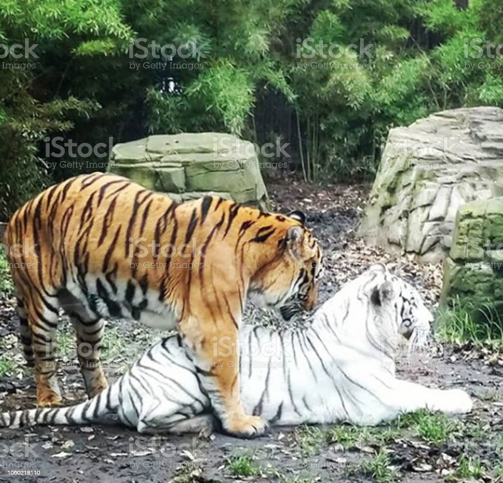 Couple tiger stock photo
