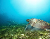 Couple big sea turtles in deep water