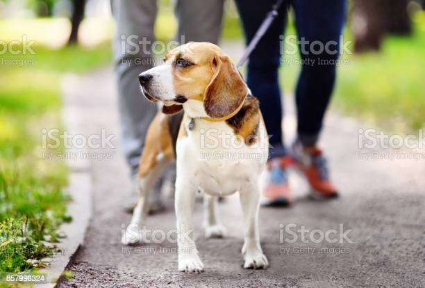 Couple walking with beagle dog wearing in collar and leash in the picture id857996324?b=1&k=6&m=857996324&s=612x612&h=6 axmlxnw1v c2skyepphvc3yo0lv7wlabeielbv 3q=