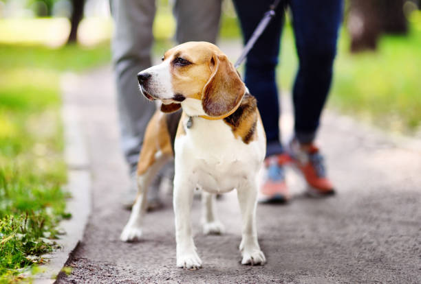Couple walking with beagle dog wearing in collar and leash in the picture id857996324?b=1&k=6&m=857996324&s=612x612&w=0&h=gxreu r8lomjf85e4so0zrbcovtlhr8 gkzd3tuolps=