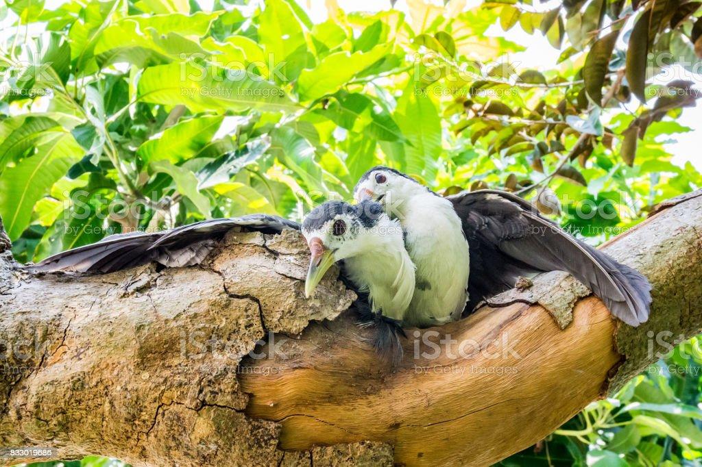 Couple White amaurornis phoenicurus birds stock photo