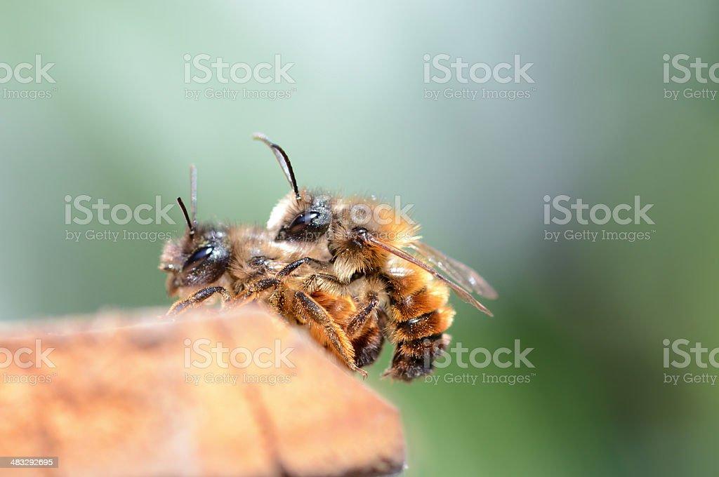 couple wild abeille Osmia bicornis - Photo