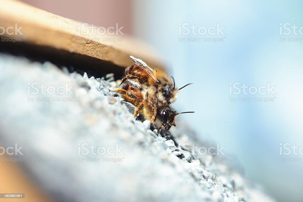 couple wild abeille Osmia cornuta - Photo