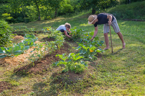Couple Working in a Home Grown Vegetable Garden stock photo