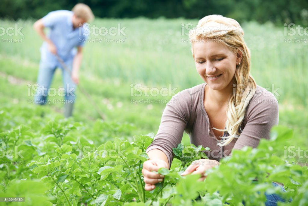Couple Working In Field On Organic Farm stock photo
