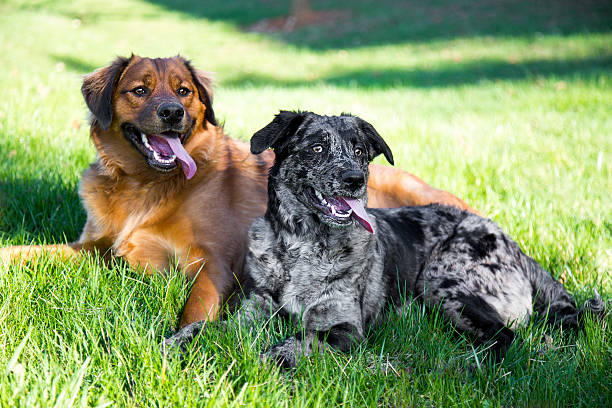 Couple young dogs lounging in the grass after playing My two rescue dogs posed together after running around and playing on a hot summer day. mixed breed dog stock pictures, royalty-free photos & images
