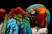 couples of red scarlet macaws birds perching on tree branch