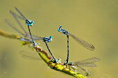 so many pairs of blue dragonflies blend on the shore of the lake