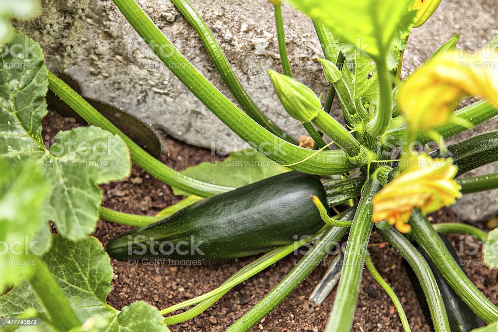 Courgette plant royalty-free stock photo