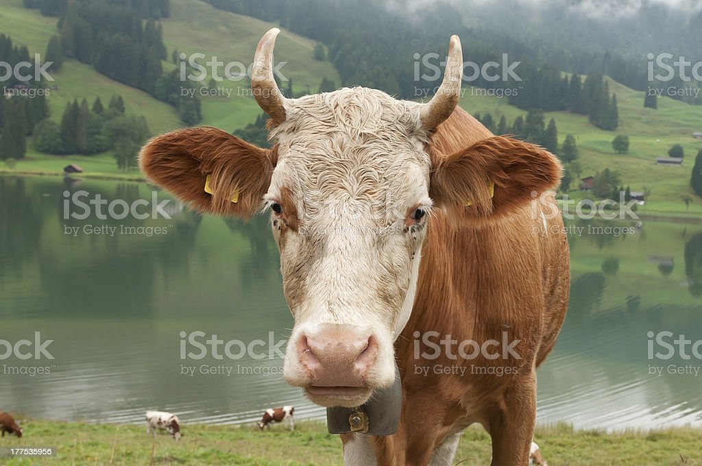 Courious cow stock photo