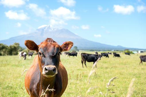 istock Courise cow  with a volcano in the background 672643690