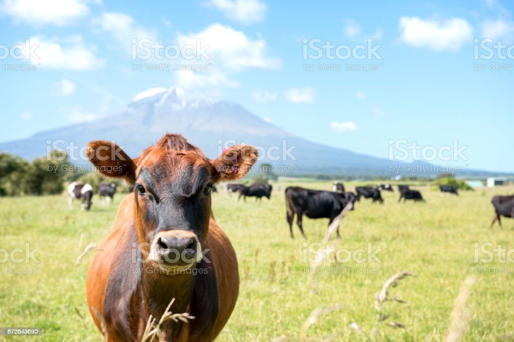 Courise cow  with a volcano in the background stock photo