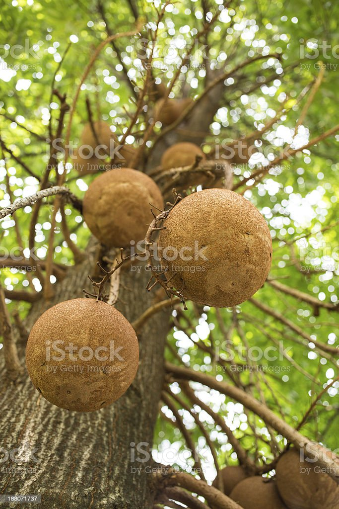 Couroupita guianensis (cannonball tree) stock photo