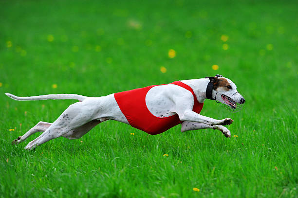 Coursing Greyhound Greyhound chasing the lure. Lieto 2012 competition, Finland. sight hound stock pictures, royalty-free photos & images