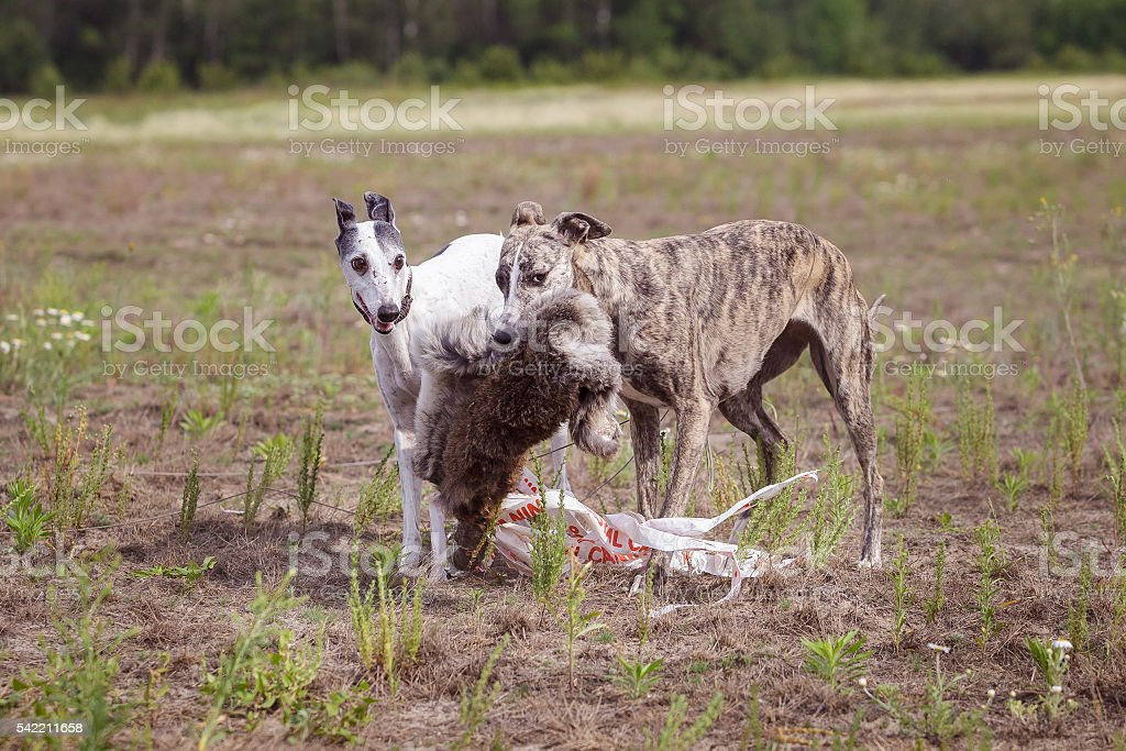 Coursing. Two whippet dogs at the finish with the bait stock photo
