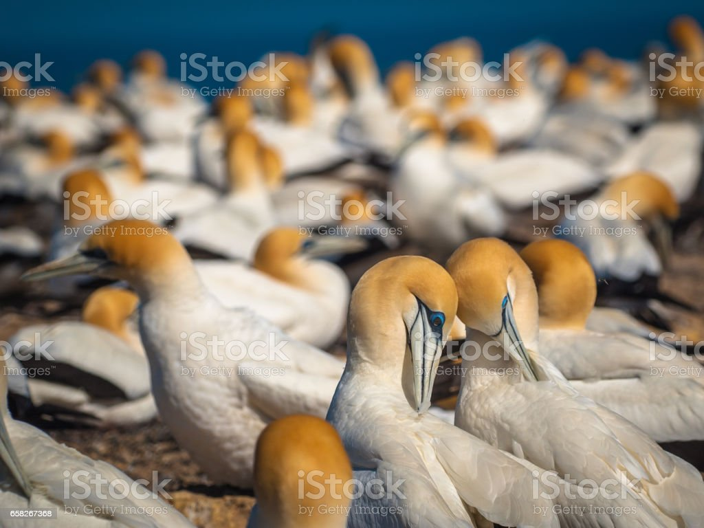 courting gannets in colony new zealand stock photo