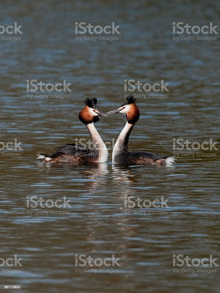 Courting Great Crested Grebes (Podiceps Cristatus) royalty-free stock photo