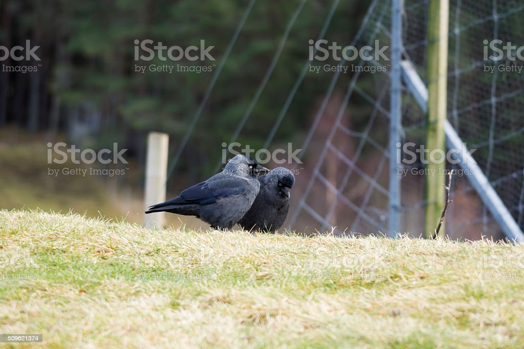 Courting Jackdaws stock photo