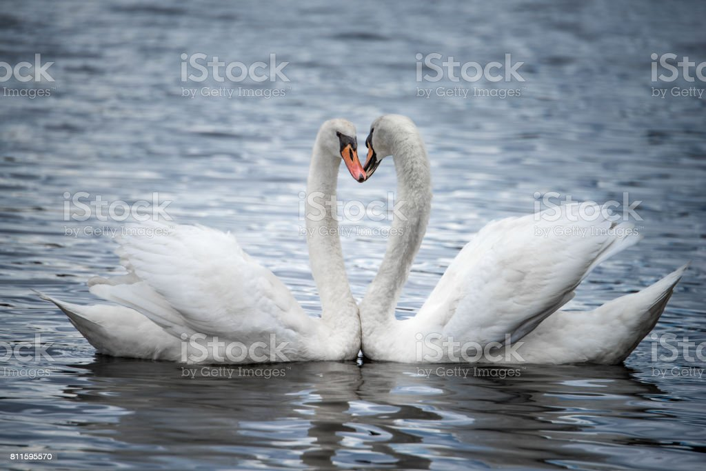Courting Mute Swans stock photo