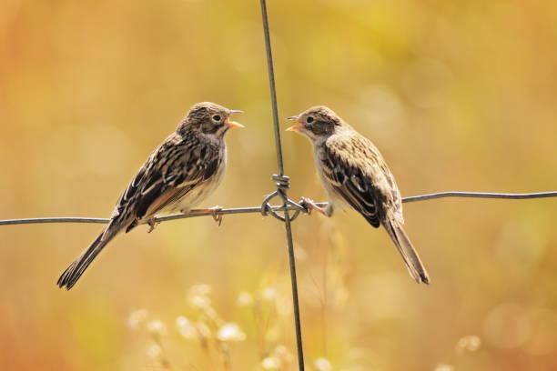 courting sparrow songbirds perching fence - oiseau chanteur photos et images de collection