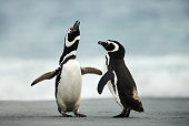 Courtship display of Magellanic penguins