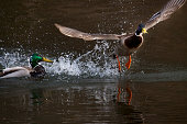courtship duck in water. Selected focus.
