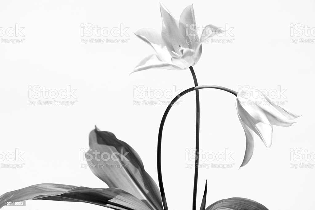 Courtship in B&W stock photo