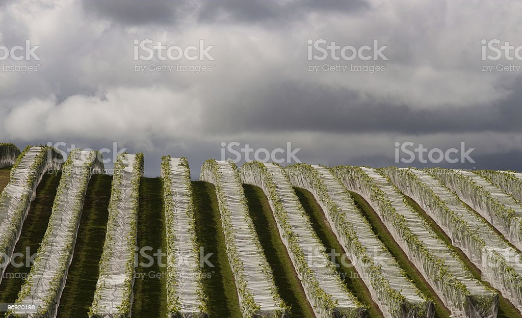 Coverd Vineyard royalty-free stock photo