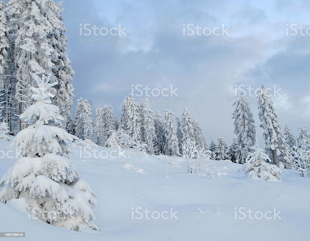 covered pine trees in winter, Black Forest, Germany stock photo