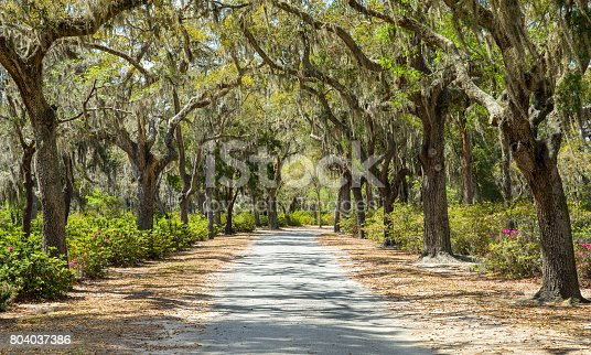 Covered rural road in the Southern United States.  The path is framed by azaleas and Spanish moss hanging from live oak trees.