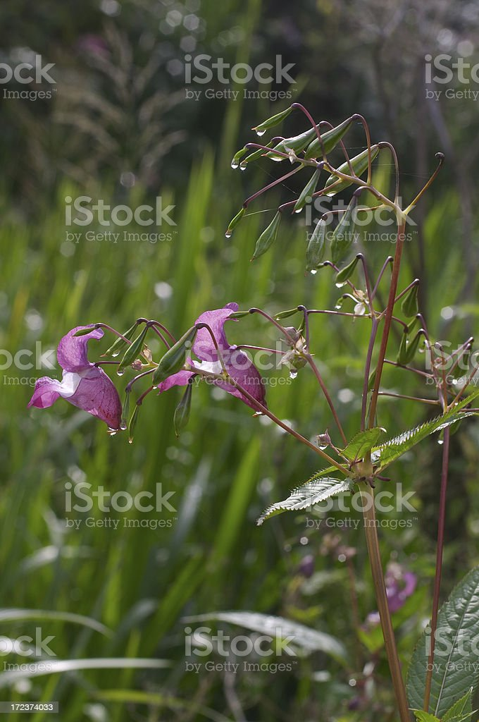 Indian balsam waterside plant stock photo