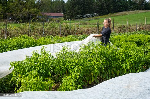 A female farmer cover pepper plants with frost cover cloth on an organic farm