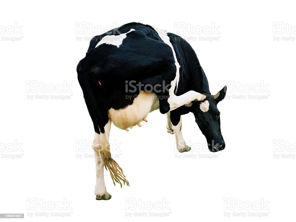 Cow 2 royalty-free stock photo